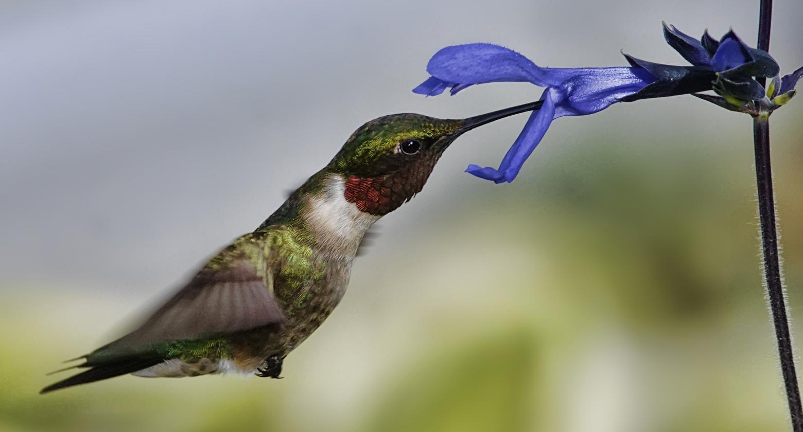 bird-hummingbird-